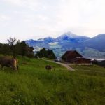 Kühe auf der Weide Familie Wiget Adelboden